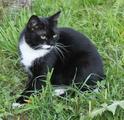 Маркиза Шелти в шелковой шубке, красавица кошка в дар.